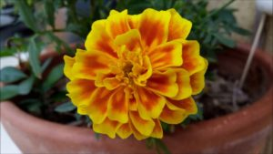 Flor comestível