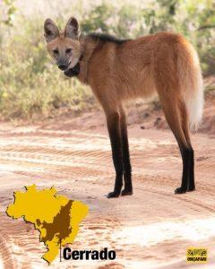 preservação do lobo-guará